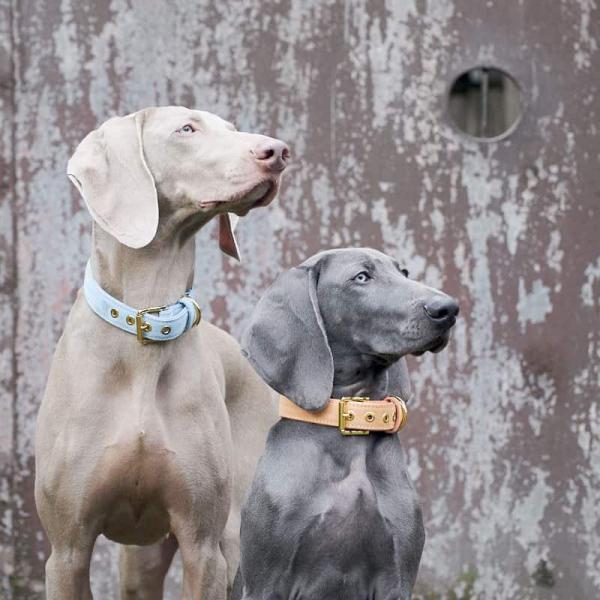 Leren hondenhalsband Sky blauw Labradoodle
